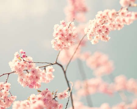 cherry blossom in japan: Vintage cherry blossoms in spring Stock Photo