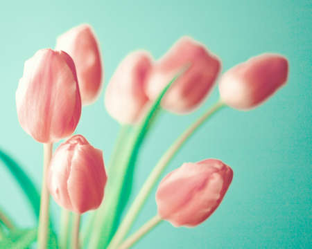 aqua flowers: Pink tulips over turquoise background