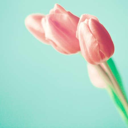 背景色が水色にピンクのチューリップ 写真素材
