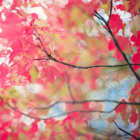 autumn leafs: Red autumn leafs Stock Photo
