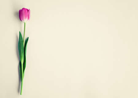 feminine background: Pink tulip over beige background Stock Photo