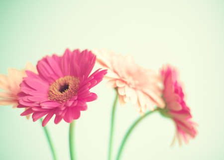 daisies: Pink flowers over mint background Stock Photo