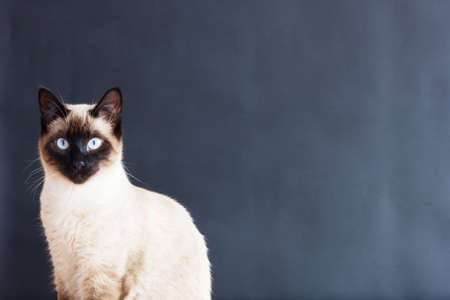 siamese: Traditional Female Siamese cat Stock Photo