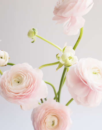 Ranunculus flowers over clear background 版權商用圖片