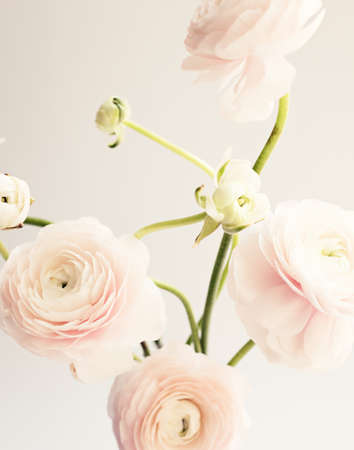 Ranunculus flowers over clear background Banco de Imagens - 101681431