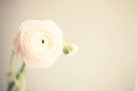Ranunculus flowers over clear background 写真素材