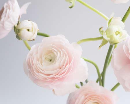 Ranunculus flowers over clear background Banco de Imagens