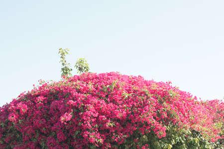 Bougainvillea flowers over blue sky