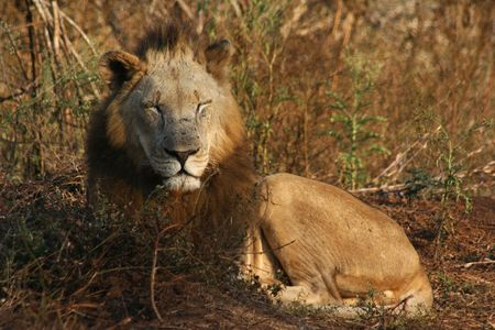 The King of the african wildlife Stock Photo