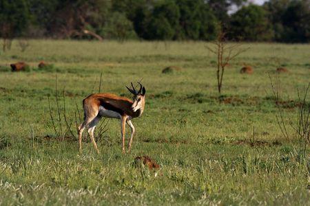 springbuck: Springbuck grazing on grass fields in Africa