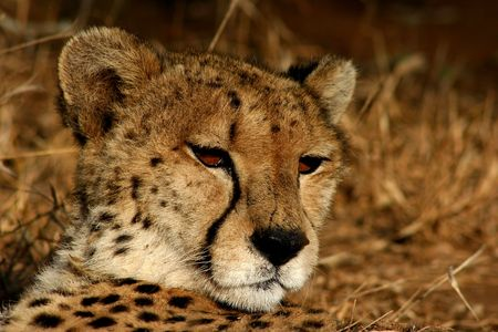 africat: Fastest cat on earth but relaxing in the sun Stock Photo