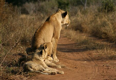 The King of the african wildlife with cubs