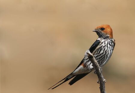 Lesser Striped Swallow sitting on a dead tree photo