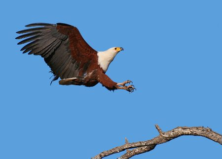 spreaded: African Fish Eagle; Haliaeetus Vocifer; South Africa