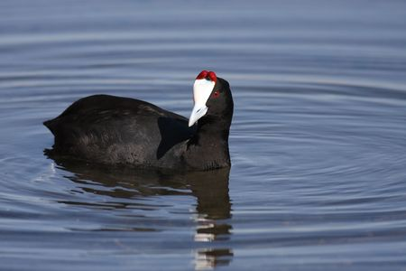 coot: Red knobbed Coot in water Stock Photo