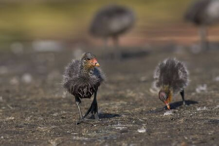 coot: Red knobbed Coot chick running