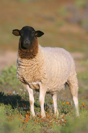 Dorper sheep in south africa Stock Photo - 6741688
