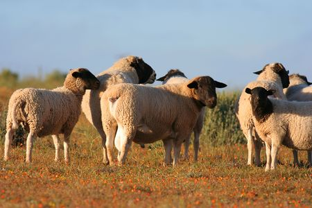 vulnerable: Dorper sheep in south africa Stock Photo
