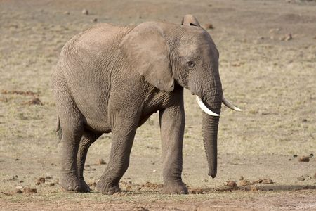 Big African Elephant in South Africa photo