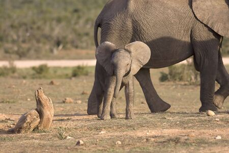 africa kiss: Baby African Elephant in South Africa