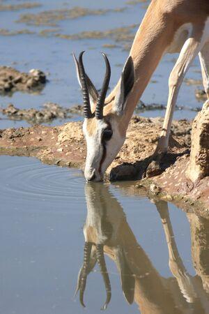springbuck: Springbuck in the kalahari