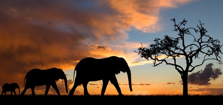 africa sunset: Elephant silhouette with red sunset in south africa
