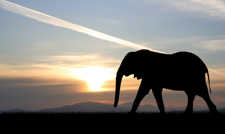 powerfully: Elephant silhouette with red sunset in south africa