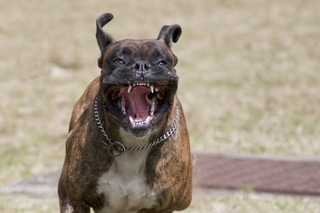 fierce: Vicious dog running at you Stock Photo
