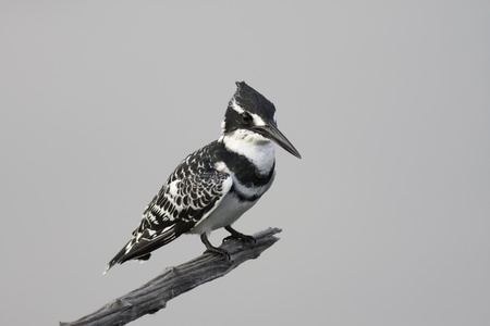 african mask: Pied Kingfisher on branch of dead tree