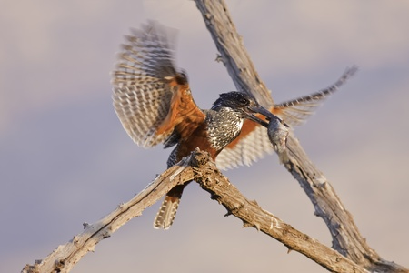 birdlife: Giant Kingfisher with fish in his beak Stock Photo