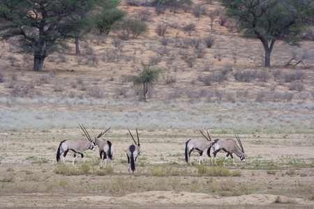 Oryx in the kalahari south africa