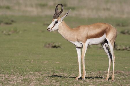 adapted: Springbuck in the kalahari south africa