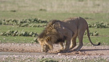 African Lion photo