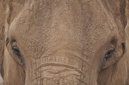 A closeup portrait of a mature female asian elephant with textured skin detail  photo