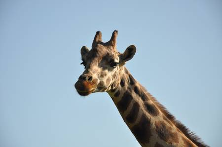 Giraffes close-up from necks to head. photo