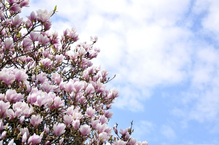 Pink magnolia on a sunny day on sky