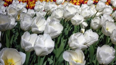 Paradise of Tulips Standard-Bild