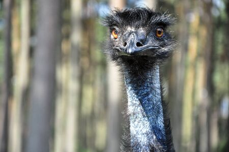 A candid picture of a jolly ostrich at the zoo. Stock Photo