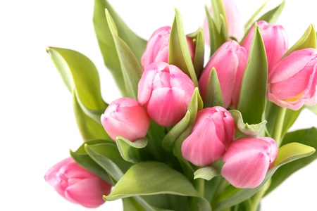 fresh spring tulips on a white background Stock Photo - 17652179