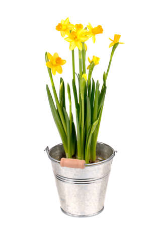 Yellow Narcissuses in a bucket on a white  background  Stock Photo - 17893994