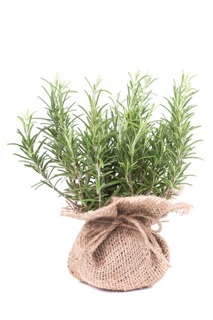 botanical medicine: Fresh rosemary in a bag on white background