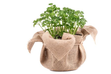 Fresh parsley in bag  on white background