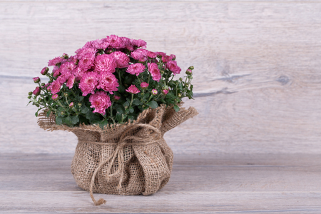 lindi: chrysanthemum in bag on a wooden background