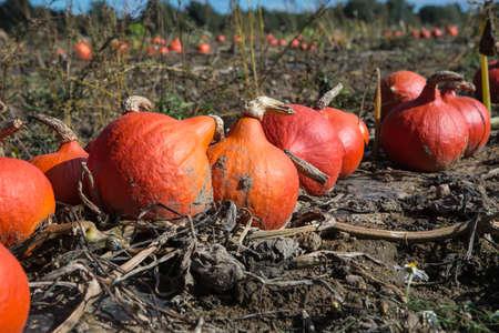 Orange  ripe pumpkins in autumn farmers field photo