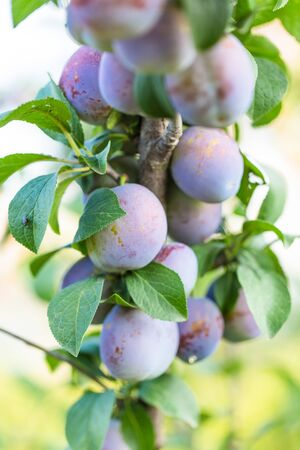 purple leaf plum: Ripe plums in the garden on a green background
