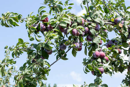 purple leaf plum: Ripe plums in the garden