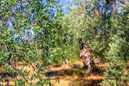 Plantation with old olive trees Stok Fotoğraf