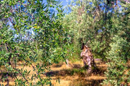 Plantation with old olive trees Фото со стока