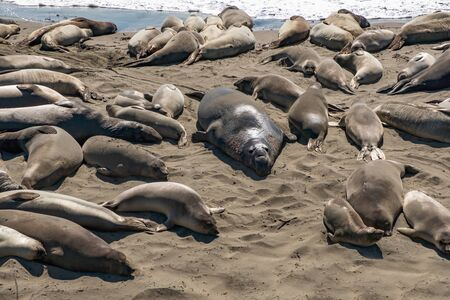 Group of lions and elephant seals sleep on the beach near highway 1 版權商用圖片