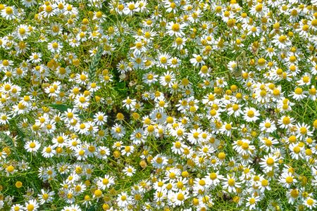 Chamomile field, blooming camomile close-up, in the sunlight Reklamní fotografie